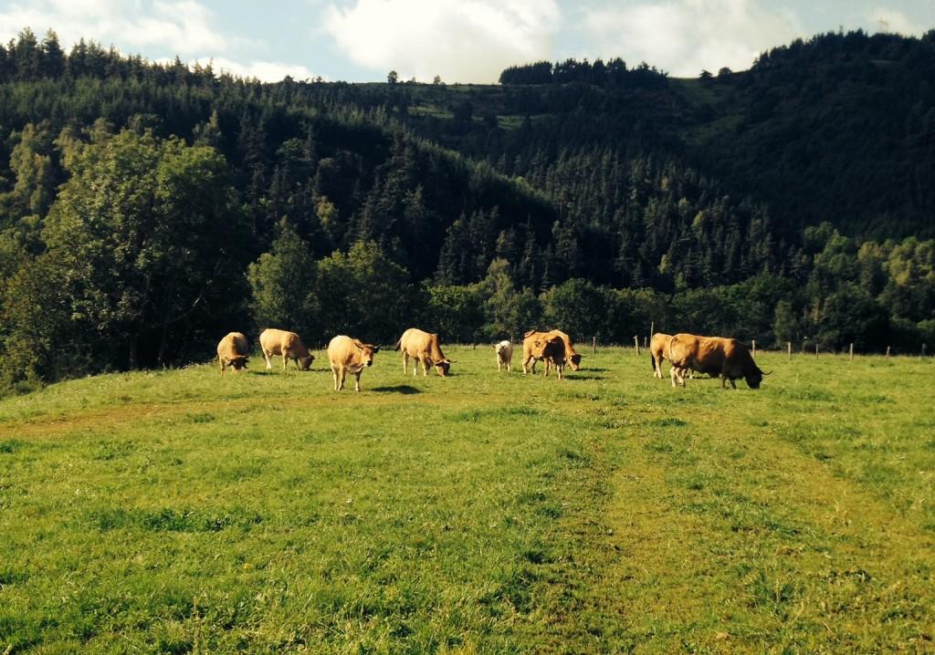 vache-champs