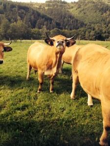 patrick chargueron vache aubrac